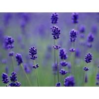 Wholesale Factory supply Lavender Extract, Lavandula pedunculata Extract 10:1 TLC, 100% natural, high quality,Chinese manufacturer from china suppliers