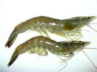 Wholesale shrimp feed additive from china suppliers