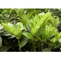 Wholesale Polygonatum Odoratum Extract Natural Health Supplements Polysaccharides from china suppliers