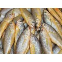 Quality high demand frozen wild yellow croaker IQF 50-70g ,bulk in carton. for sale
