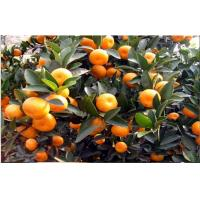 Wholesale Yellow Citrus Fresh Mandarin Oranges With Vitamins B1 , B2 , Dietary Fiber, Golden fruit color, Flesh tender thin skin from china suppliers