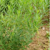 Wholesale Licorice root extract from china suppliers