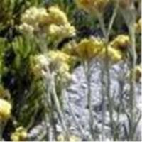Wholesale Helichrysum arenarium extract from china suppliers
