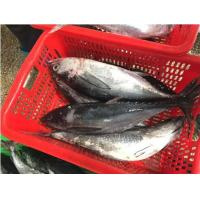 Quality Whole Round Bonito Seafood Fish  Frozen Katsuwonus Pelamis on Sale. for sale