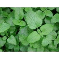 Wholesale Lemon balm Extract 10:1 stress (anxiety) reduction,sleep aid,Antioxidant and antitumor from china suppliers