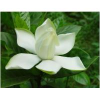 Wholesale Geniposide/extracted from fruit of Gardenia jasminoides Ellis from china suppliers