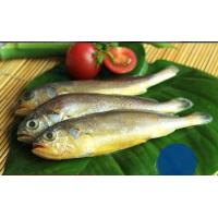 Quality Hot sale frozen yellow croaker fish (Pseudociaena Polyactis) with good price. for sale