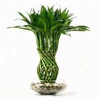 Dracaena sanderiana (Tower braided Lucky Bamboo plant)