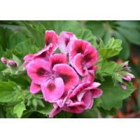 Wholesale Pelargonium Extract 10:1  used for coametics  high quality from china suppliers