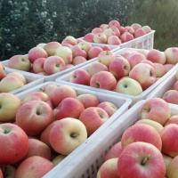 Wholesale China Huaguan Apple,thin skin,sweet,from China from china suppliers