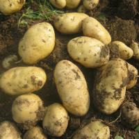 Wholesale 2018 christmas fresh holland potato(markdown sale) from china suppliers