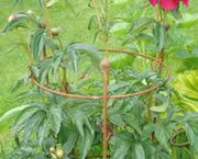 Buy cheap Plant supports for peonies offer excellent support in strong winds or rains from wholesalers