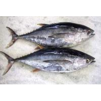 Wholesale Hot sale Frozen WR Bonito Tuna Fish With Best And Competitive Prices. from china suppliers