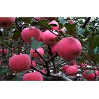 Wholesale Sweet No Wounds Fresh Fuji Apple Contains Sugars , Zinc For Supermarket, Superior quality, More resistant to storage from china suppliers