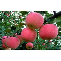 Wholesale Smooth Fresh Red Fuji Apple Good Taste Containing Beta-Carotene from china suppliers