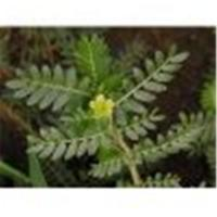 Wholesale Tribulus Terrestris from china suppliers
