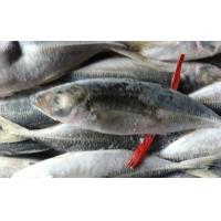 Wholesale Buy Frozen Fish Food Online  Whole Round Horse Mackerel with Good Quality. from china suppliers