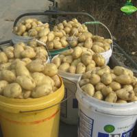 Wholesale The latest listed 2018 fresh potatoes, all kinds of packaging, the price is excellent, the supply quantity is large. from china suppliers