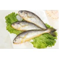Wholesale High Quality Frozen Big Yellow Croaker Whole Round Hot Sale (Pseudociaena Polyactis). from china suppliers