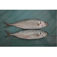 Wholesale Chinese Frozen Horse Mackerel with Good Quality and Fat Content 15%. from china suppliers