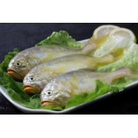 Hot sale frozen yellow croaker fish (Pseudociaena Polyactis) with good price.