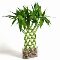Wholesale Indoor Lucky Bamboo (Plant and tree Nursery) from china suppliers