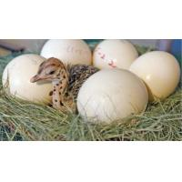 China Ostrich Chicks , Ostrich Eggs and Ostrich feathers. on sale