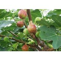 Wholesale Ficus Carica Extract, Fig Extract, 5:1 TLC, High quality, Chiese manufacturer, Shaanxi Yongyuan Bio-Tech from china suppliers