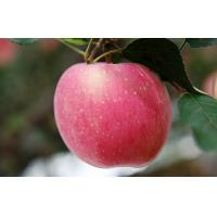 Wholesale Carbohydrates 13.81g fresh red Organic fuji apple quarenden nutrition health the World's Healthiest Foods Fuji apple from china suppliers