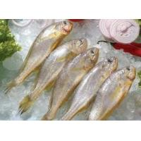 Quality new catching high demand from foreign market for frozen yellow croaker. for sale