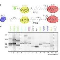 Wholesale Staphylococcus Aureus v8 Protease  Glutamic Acid Proteases for Analyzing Protein Sequencing from china suppliers