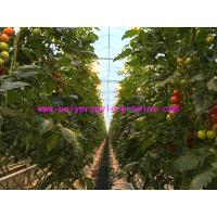 Quality High Breaking Strength And UV - treated PP Warping Twine Polypropylene Tomato Twine for sale