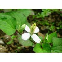 Wholesale Skin Conditioner Natural Cosmetic Ingredients Houttuyniae Cordata Thund Extract from china suppliers