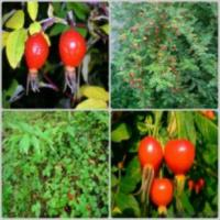 Wholesale Rose Hip Extract from china suppliers
