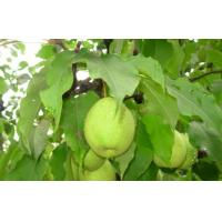 Wholesale Sweet Green Cold Store Fresh Pears With High Energy , Vitamin C from china suppliers