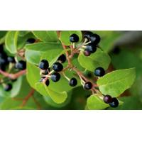 Wholesale Maqui Berry Powder, Maqui Berry Extract,  Anthocyanins, ANTIOXIDANT, MANUFACTURER from china suppliers