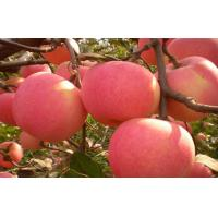 Wholesale Fresh Organic Crisp Large Fuji Apple Containing Sugars For Market, core transparent from china suppliers