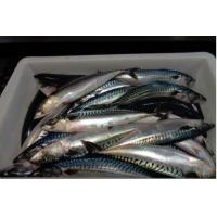 Wholesale BQF Hot Sale Frozen Fish Healthy Pacific Mackerel New Landing With Marketing Price. from china suppliers