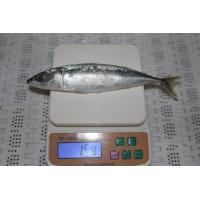 Wholesale NEW LANDING FROZEN PACIFIC MACKEREL (SCOMBER JAPONICUS)100-200g. from china suppliers