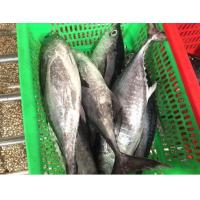 Wholesale New Production Ocean Seafoods Of Frozen Tuna Fish With Size 300-500g. from china suppliers