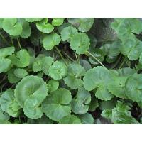 Wholesale Gotu Kola Extract, Total triterpenes 60%,70%,80%,  natural Anti-inflammatory and anti-aging, cosmetic ingredients, Hot from china suppliers