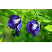 Wholesale high quality Butterfly pea Extract, Butterfly pea Powder,5:1 TLC, beverage ingredient, Chinese manufacturer from china suppliers