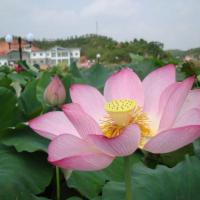 Wholesale Nutritional Chinese Lotus Seed from china suppliers