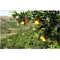 Wholesale 90mm Juicy Honey Sweet Fresh Navel Orange With Neat Appearance For Gift Fruit from china suppliers