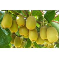 Wholesale Cylindrical fruit, pericarp yellow-green fresh kiwi fruit from china suppliers