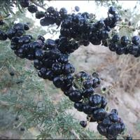 Quality Chinease Black goji berries/Black wolfberry/High Quality/Factory Supply for sale