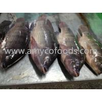 Wholesale High quality low price fozen tilapia whole round supply from China from china suppliers