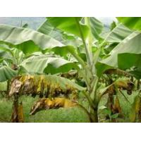 Wholesale Banana Leaf Extract, 5:1,10:1 TLC, ingredient for fertilizer and feedstuff, Shaaanxi Yongyuan Bio-Tech, qualified export from china suppliers