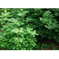 Wholesale Eleutheroside E Natural Health Supplements CAS No.39432-56-9 1-98% Natural Plant Extract Liriodendrin from china suppliers