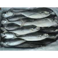 Wholesale Competitive Price of Frozen Fish Horse Mackerel For Canning And For Bait. from china suppliers